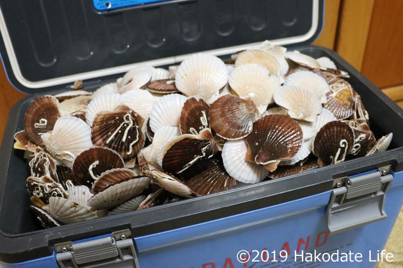 クーラーボックスに入りきれず溢れかえる稚貝
