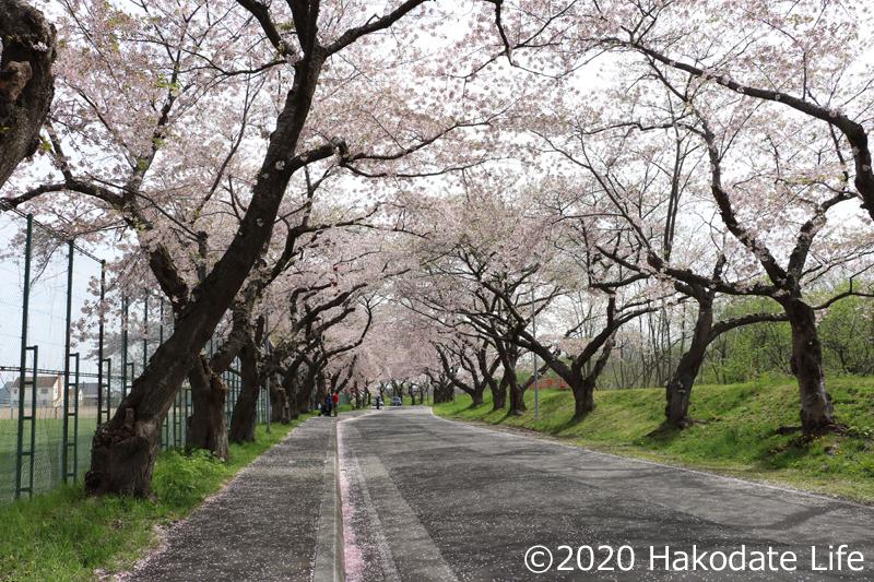 大野川桜並木③