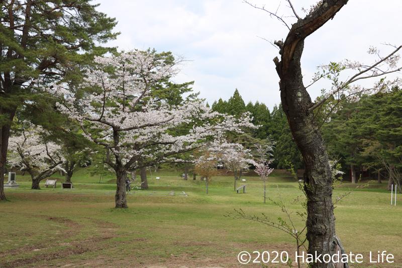 史跡内部にも桜が植樹されている