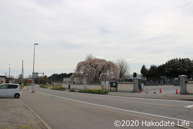 法亀寺としだれ桜①