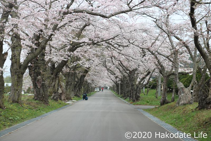 戸切地陣屋の桜