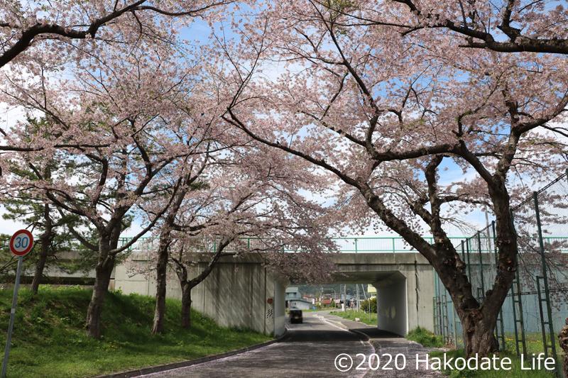 大野川桜並木②