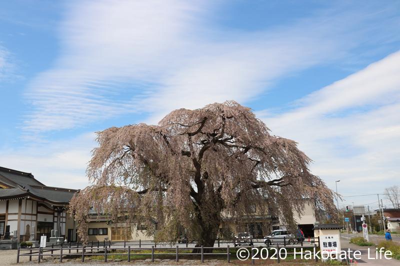 法亀寺としだれ桜⑤