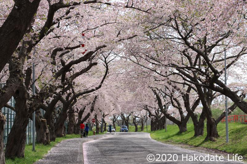 大野川桜並木⑤