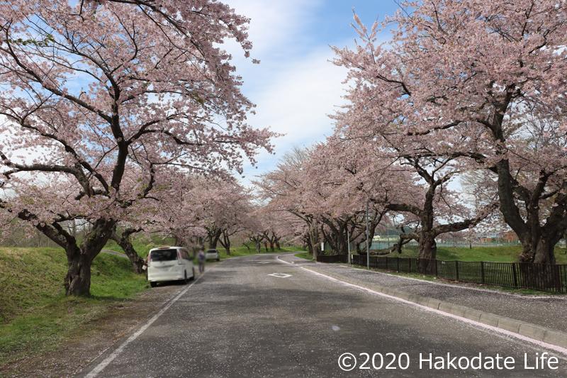 大野川桜並木①