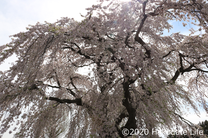 法亀寺としだれ桜③