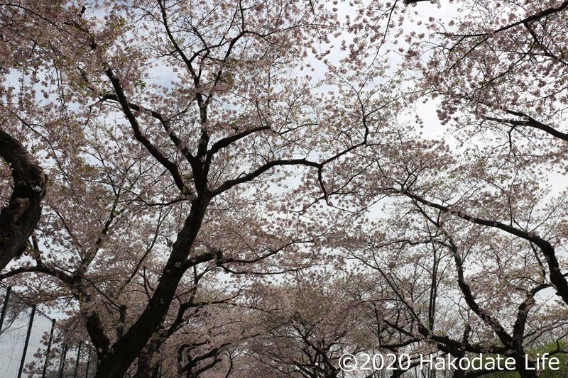大野川桜並木④