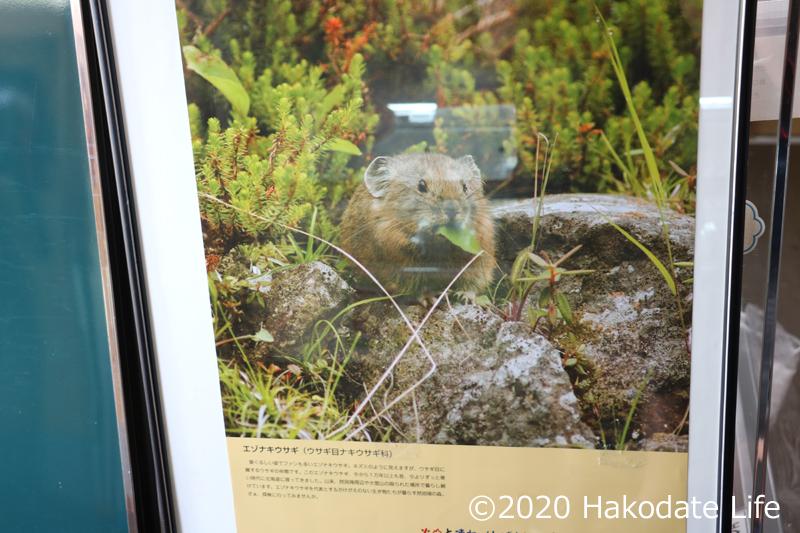 これがエゾナキウサギ