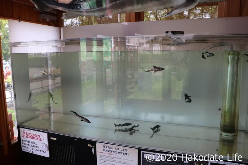 水槽には数匹のチョウザメの稚魚