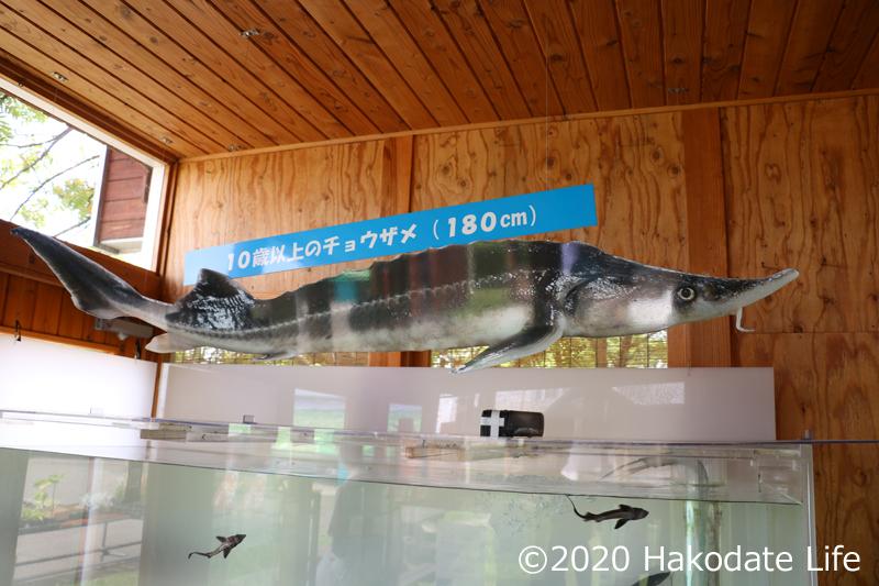 入り口にチョウザメの水槽がある