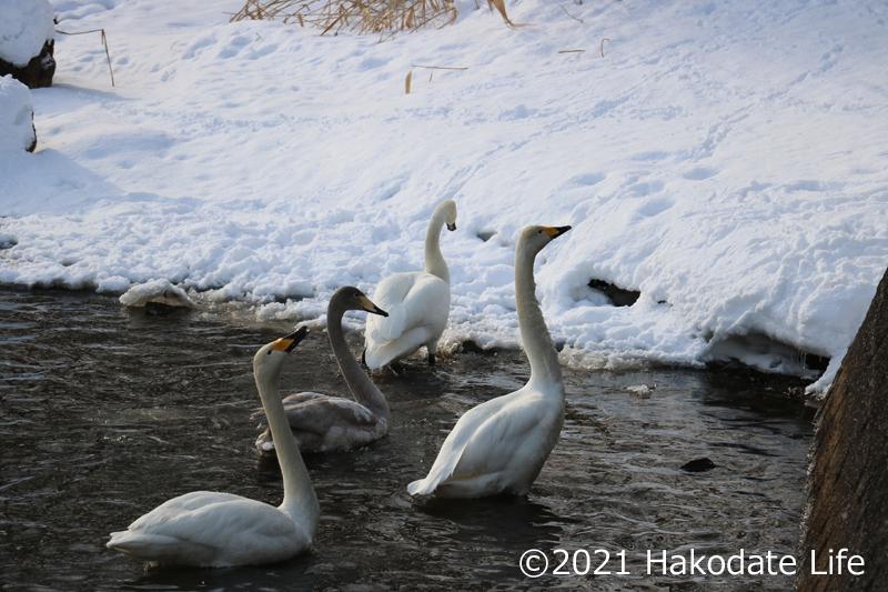 餌をもらおうとする白鳥