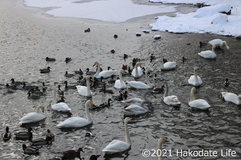 多くの白鳥がいる