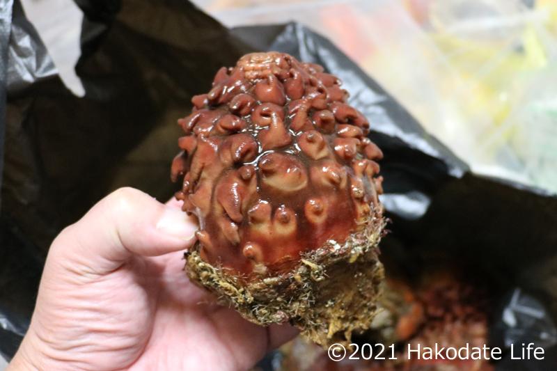立派な松前産天然真海鞘